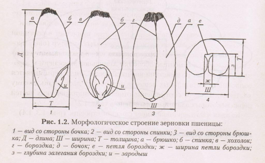 Морфологическое строение зерновки пшеницы