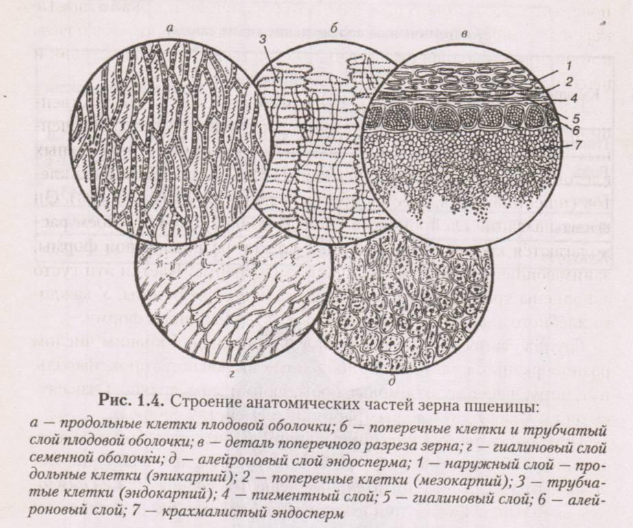 Строение анатомических частей зерна пшеницы