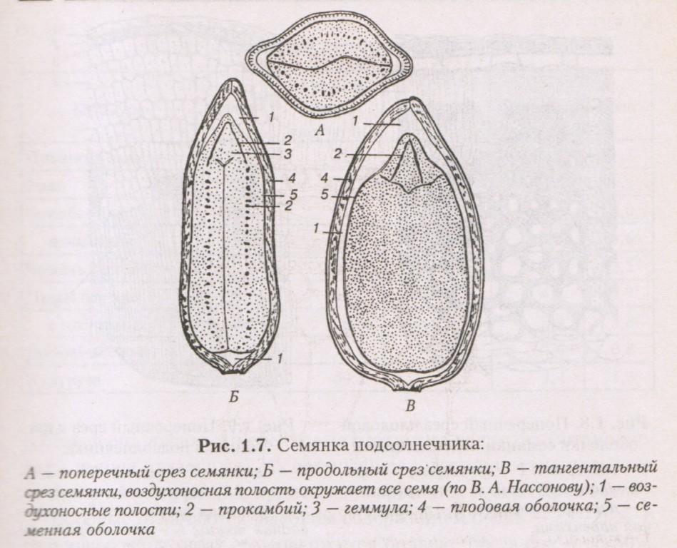 Семянка подсрлнечника, строение подсолнечника