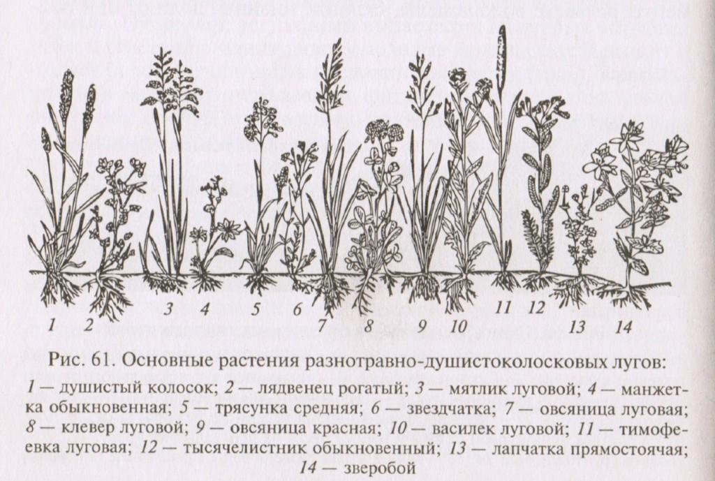 Основные растения, травы, разнотравно-душистоколосковых лугов