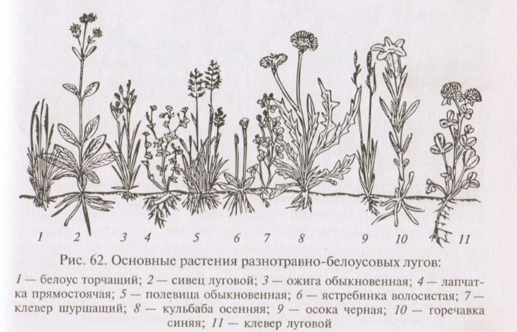 Основные растения, травы разнотравно-белоусовых лугов
