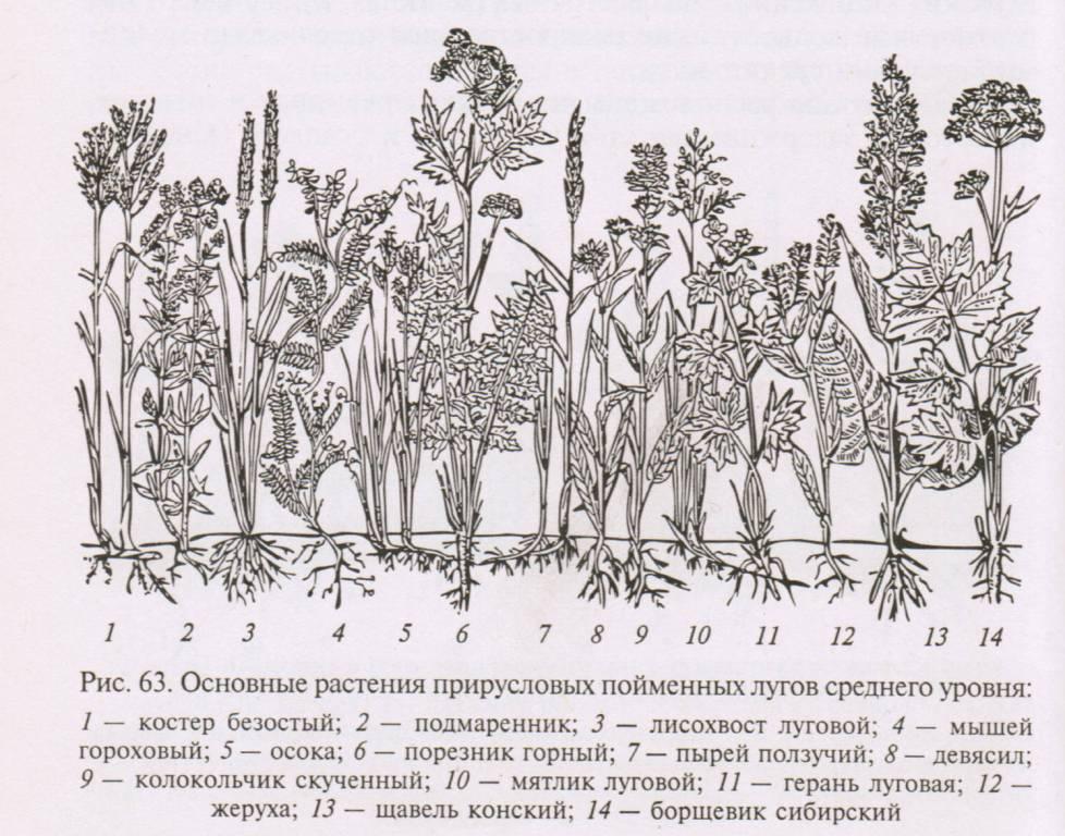Основные растения, травы прирусловых лугов среднего уровня
