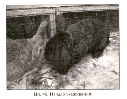 Начало ухаживания кроликов