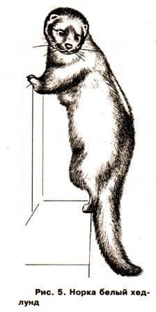 Норка белый хедлунд